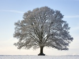 Snow-covered Oak Tree Photographic Print by Frank Lukasseck