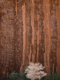 Chokecherry Tree Against Red Canyon Wall Photographic Print by John Eastcott & Yva Momatiuk