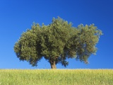 Olive Tree Growing in Corn Field Photographic Print by Frank Krahmer