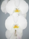 White Orchids Photographic Print by Larry Dale Gordon
