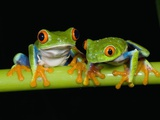 Red-eyed Tree Frogs Fotografisk tryk af Kevin Schafer