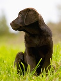 Chocolate Lab Puppy Photographic Print by Jim Craigmyle