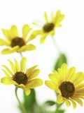 Yellow Daisy Photographic Print