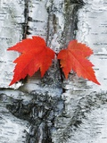 Maple Leaves on Birch Photographie par Frank Krahmer