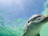 Bottlenose Dolphin Photographic Print by Stuart Westmorland