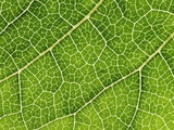 Grapevine Leaf Photographic Print by Frank Krahmer