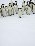 Group of Emperor Penguins Standing on Ice Photographic Print by Tobias Bernhard