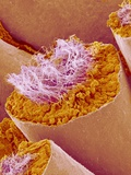 Sperm in Testis of a Rat Photographic Print by  Micro Discovery