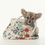 Long-Haired Chihuahua in Tote Bag Photographic Print by Pat Doyle