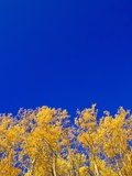 Yellow Aspens and Blue Sky Photographic Print by John Eastcott & Yva Momatiuk