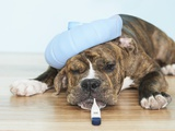 English Bulldog Feeling Sick Lmina fotogrfica