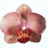 Speckled Orchid Photographic Print by Cora Buttenbender