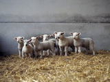 Lambs in Barn Photographic Print by Adrian Burke