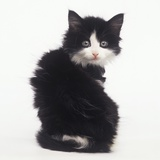 Black and White Kitten Photographic Print by Pat Doyle