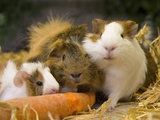 Guinea Pigs With Carrot Photographic Print by Markus Botzek