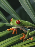 Red Eyed Tree Frog on Plant Photographic Print