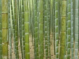 Sagano Bamboo Forest in Kyoto Photographic Print by Rudy Sulgan