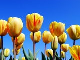 Yellow Tulips Photographic Print by  Benelux