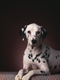 Dalmatian Sitting on Rug Photographic Print