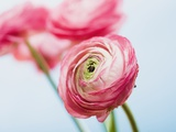 Pink ranunculus Photographic Print by Ada Summer