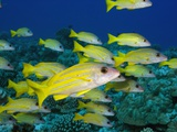 Bluelined Snapper in French Polynesia Photographic Print by Stephen Frink