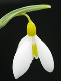 Close-Up View of Wendy's Gold Snowdrop Flower Photographic Print by Mark Bolton