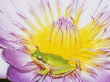 Eastern Dwarf Tree Frog on Blossoming Water Lily Photographic Print by Gary Bell