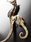 Dried Seahorses Photographic Print by Ken Seet