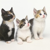 Calico Kittens Photographie par Pat Doyle