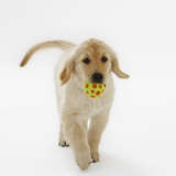 Golden Retriever Puppy Playing with Ball Photographic Print by Russell Glenister