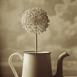 Blooming Allium in Old Metal Coffee Pot Photographic Print by Tom Marks