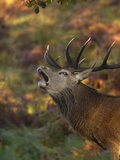 Red Deer Calling Photographic Print by Andrew Parkinson