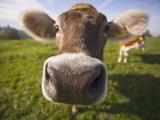 Curious Cow Fotografisk tryk af Uli Wiesmeier