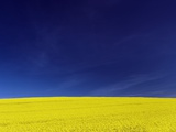 Yellow Field Against Blue Sky Photographic Print by Frank Krahmer