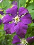 Fleurs violettes Reproduction photographique par Mark Bolton