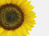Yellow Sunflower Photographic Print