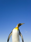 King Penguin Alert and Watchful Photographic Print by John Eastcott & Yva Momatiuk
