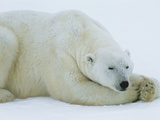 Polar Bear Sleeping Photographic Print