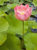 Lotus Bloom Reproduction photographique par Markus Botzek
