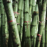 Bamboo Plants Photographic Print by  Mika