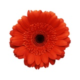 Intense Orange Gerbera Daisy Photographic Print