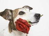 Dog with Red Rose Reprodukcja zdjęcia autor Ursula Klawitter
