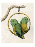 Illustration of Two Lovebirds Reproduction proc&#233;d&#233; gicl&#233;e
