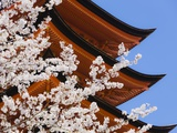 Cherry Blossoms at Itsukushima Jinja Shrine Photographic Print by Rudy Sulgan