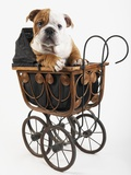 English Bulldog Puppy in a Baby Carriage Photographic Print by Peter M. Fisher