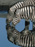 Zebras Drinking at Water Hole Photographic Print by Martin Harvey