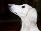 Saluki Looking Up Photographic Print by Henry Horenstein