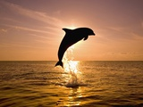 Dolphin Breaching at Sunset, Honduras, Photographic Print