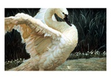 Tundra Swan Extending Its Wings Giclee Print by Pat Fridell