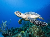 Hawksbill Turtle Swimming above Reef Photographic Print by Paul Souders